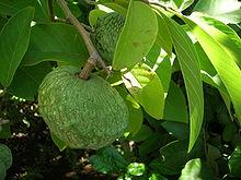 Picture of the Annona plant